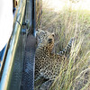 People ask us how close we were to the leopard. This is the leopard and our Land Rover. We were quite close!