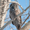 Great Grey Owl in the boreal forest near Winnipeg, Manitoba, Canada.