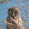 Great Grey Owl searches for prey in the boreal forest near Winnipeg, Manitoba, Canada.