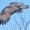Wing detail of a great grey owl taking flight in the boreal forest near Winnipeg, Manitoba, Canada.