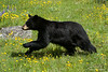 Black Bear Running Through Field of Flowers
