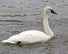 Trumpeter Swan on Yellowstone River