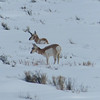 National Elk Refuge: Pronghorn