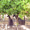 Roos under the vines
