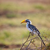 Orange billed hornbill