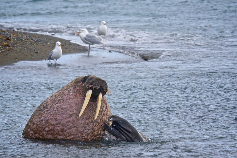 Walrus and Gulls Poolepynten