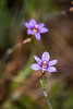 Blue-eyed Grass, found growing near Biscuit Basin