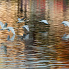 Swans and early morning reflections on the River Vltava, Prague - May 2015