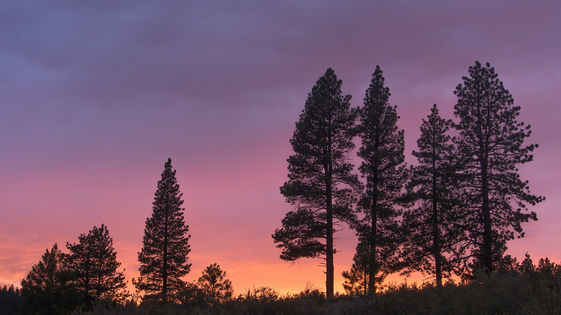 Pine Tree Grove at Sunset, Hirschdale CA