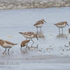Semi-palmated and Western Sandpipers
