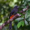Baird's Trogon (female)
