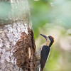 Golden-naped Woodpecker