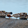 Northern Shoveler, Pink-eared Duck