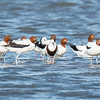 Banded Stilt, Black-winged Stilt, Red-necked Avocet