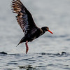 Sooty Oystercatcher (nominate race)