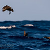 Brown Skua, Flesh-footed Shearwater