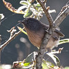 Wrentit - Gazos Creek Road