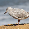 Glaucous-winged Gull (?) - Pescadero Creek Mouth