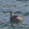 Eared Grebe at Monterey Harbor, 1-10-2013