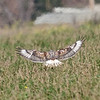 Ferruginous Hawk landing on the ground.  Plumage indicates an adult light morph.  Morgan Hill, Coyote Valley, Richmond Avenue, 1-12-2013