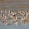 Avocets at sunset