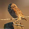 Burrowing Owl, Robinson Road, Solano County