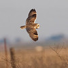 Short-eared Owl, Robinson Road