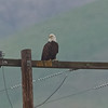 Bald Eagle #2 at Paicines Reservoir