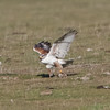 Ferruginous Hawk - near junction of Panoche Road and Little Panoche Road