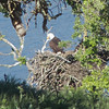 Bald Eagle, Calaveras Road