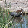 Common Gallinule, Coast Casey Forebay