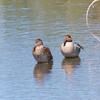 Green-winged Teal, Coast Casey Forebay