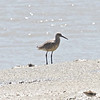 Willet, Palo Alto Baylands