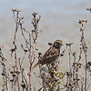 Savannah Sparrow, Charleston Slough