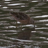 Long-billed Dowitcher, Thompson Creek
