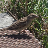 House Sparrow, Coast Casey Forebay