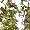 Cedar Waxwings, Mines Road, Alameda County