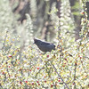 Phainopepla (female), Mines Road, Alameda County
