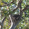Contraption put over Red-shouldered Hawk Nest to discourage nesting at construction site