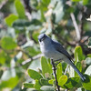 Blue-gray Gnatcatcher on Mount Hamilton
