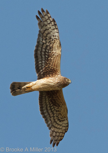 Northern Harrier (female), Cosumnes River Preserve, 25-May-2013