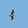 Osprey Flying over Yuba Pass, 15-June-2013