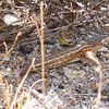 Lizard (with no tail) at Walker Creek, 12-July-2013