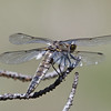 Four-spotted Skimmer, Tuolumne Meadows, 14-July-2013