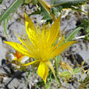 Beautiful Yellow Flower, Mono Lake, 13-July-2013