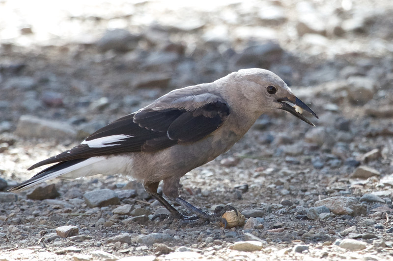 Clark's Nutcracker, Virginia Lakes Resort, 13-July-2013