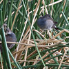 Young Common Gallinules, Sweetwater Wetlands, Tucson, AZ, 22-Aug-2013