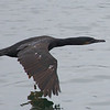 Brandt's Cormorant, Jetty Road, Monterey County, 11-Sept-2013