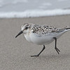 Sanderling (Juvenile), Moss Landing Beach, Monterey County, 12-Oct-2013