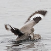 Willet Scuffle #3